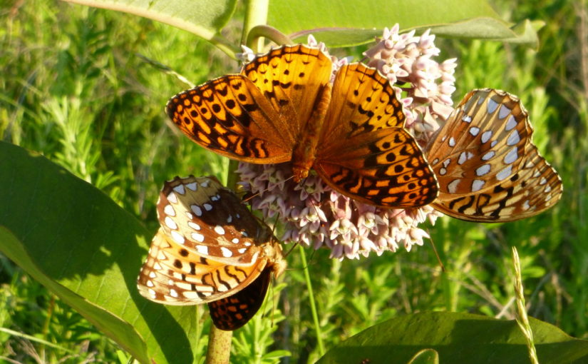 Lesser marbled fritillary on milkweed bloom